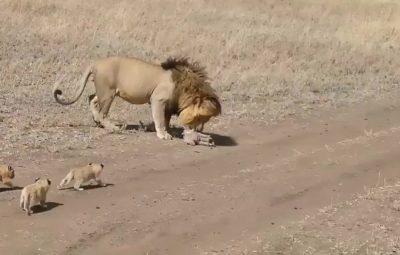 как лев сбежал от своего потомства